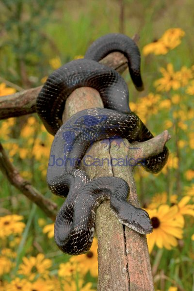Eastern Ratsnake/Black Ratsnake - New York - USA