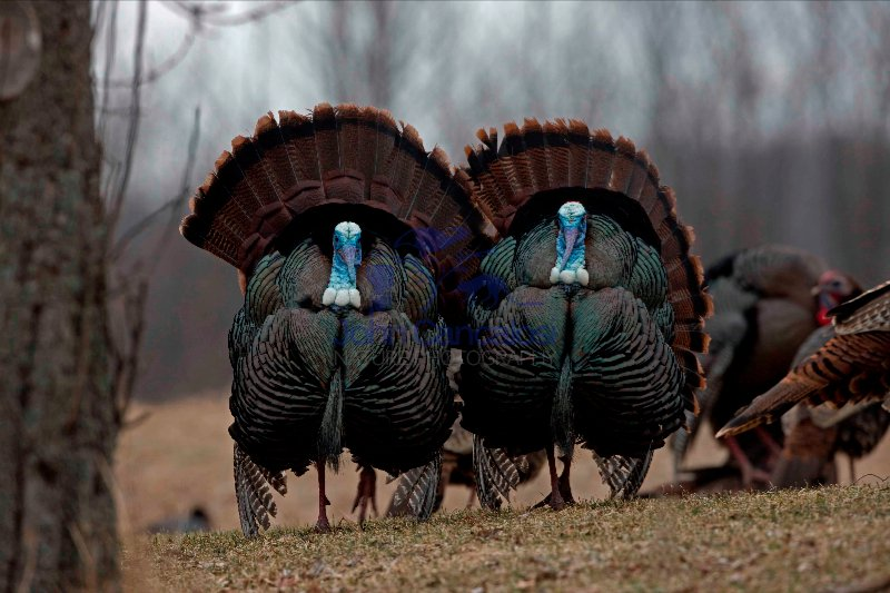Wild Turkeys (Meleagris gallopavo)- Males in display - New York
