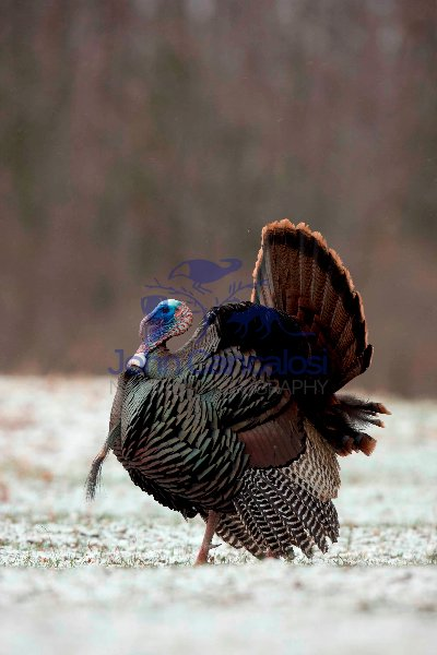 Wild Turkey (Meleagris gallopavo)- Male in display - New York
