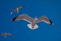 Ring-billed Gull (Larus delawarensis) - New York - USA