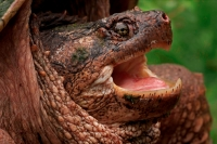 Snapping Turtle (Chelydra serpentina) - New York