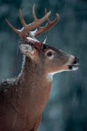 White-tailed Deer (Odocoileus virginianus) - New York - Buck