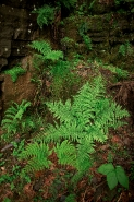 Lady fern (Athyrium filix-femina) - New York