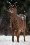White-tailed Deer (Odocoileus virginianus) - New York - Fawn