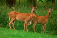 White-tailed deer - Odocoileus virginianus - does - New York - U