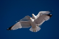 Ring-billed Gulls (Larus delawarensis) - New York - USA