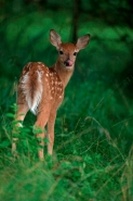 White-tailed Deer (Odocoileus virginianus) Fawn - New York - USA