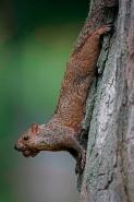 Eastern Gray Squirrel (Sciurus carolinensis)  - New York