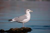 Herring Gull (Larus argentatus)  - New York - USA