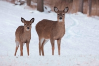 White-tailed deer - Odocoileus virginianus - doe and fawn - New