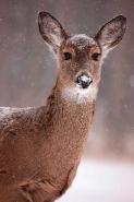 White-tailed deer - Odocoileus virginianus - doe - New York - US