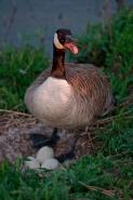 Canada Goose (Branta canadensis) - New York