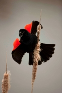 Red-winged Blackbird - (Agelaius phoeniceus) -New York