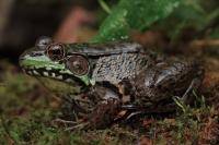 Green Frog (Rana clamitans) - New York - USA