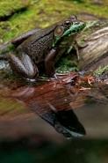 Green Frog - (Rana clamitans) - New York - U.S.A.