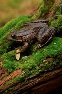 Green Frog - Rana clamitans - New York - USA
