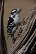 Downy Woodpecker (Picoides pubescens) - New York - USA