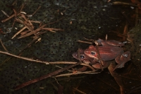 Wood Frog Pair in Amplexus (Rana sylvatica) w/Eggs- NY - USA