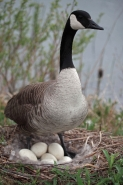 Canada Goose (Branta canadensis) -On Nest with Eggs-NY-USA