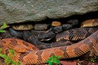 Timber Rattlesnakes (Crotalus horridus)- Gravid Females Basking-