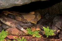 Timber Rattlesnakes (Crotalus horridus)- Gravid Females Basking-