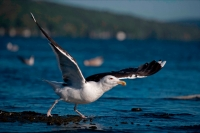 Great Black-backed Gull-(Larus marinus)-New York