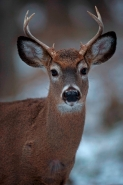 White-tailed Deer (Odocoileus virginianus) - New York - Young Bu