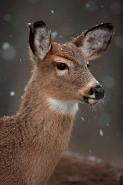 White-tailed Deer (Odocoileus virginianus) - New York - Doe