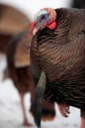 Wild Turkey (Meleagris gallopavo)- Male  - New York