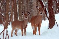 White-tailed Deer (Odocoileus virginianus) in Snow - New York