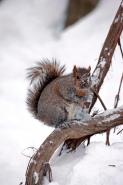 Eastern Gray Squirrel (Sciurus carolinensis) in the Snow - New Y