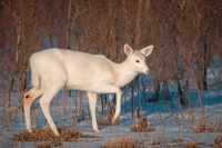 White-tailed Deer (White Color Phase) (Odocoileus virginianus) -