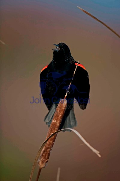 Red-winged Blackbird - (Agelaius phoeniceus) -New York