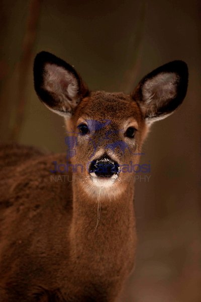 White-tailed Deer (Odocoileus virginianus) - New York - Doe