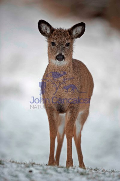 White-tailed Deer (Odocoileus virginianus) Fawn - New York