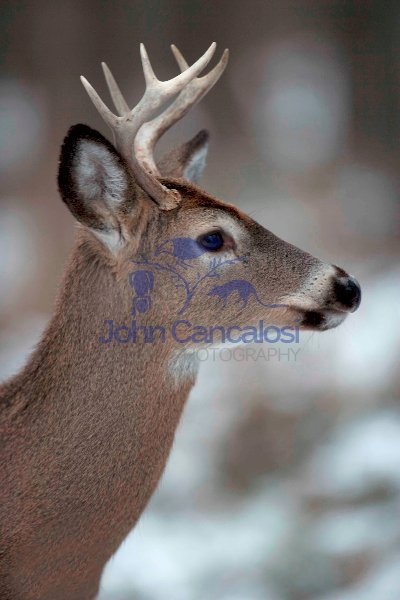 White-tailed Deer (Odocoileus virginianus) - New York - Young Bu