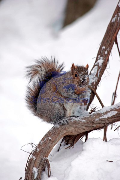 Eastern Gray Squirrel (Sciurus carolinensis) in the Snow - New Y