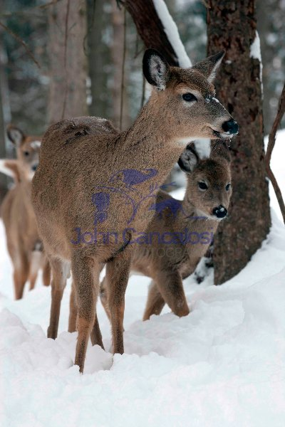 White-tailed Deer (Odocoileus virginianus) in Snow - New York