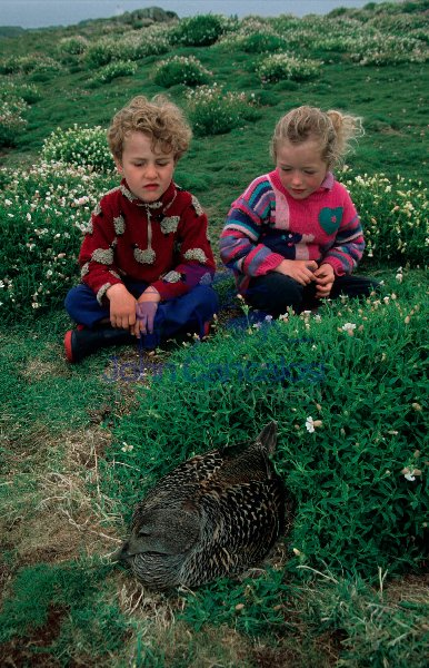 Children Looking at Eider Nest - Scottland