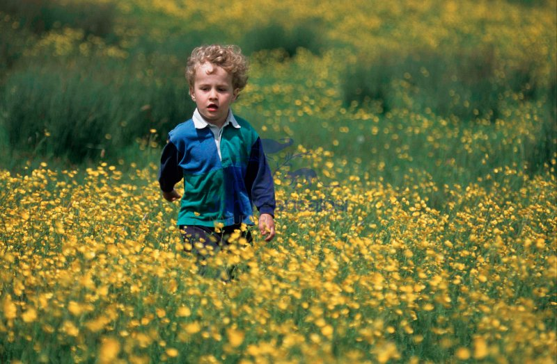 Small Boy Walking Through Field of Flowers - UK