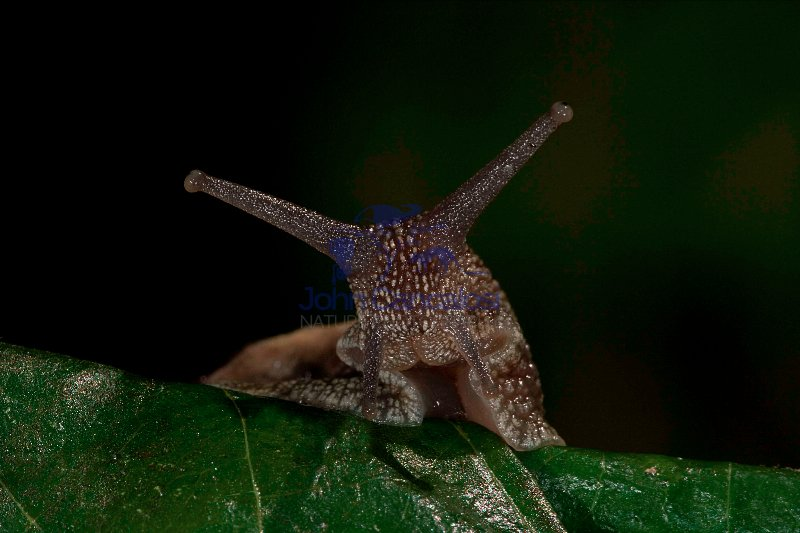 Garden Snail (Helix aspersa)  - England - UK