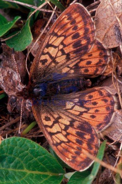 Uncompahgre Fritillary (Boloria acrocnema) - Colorado - USA