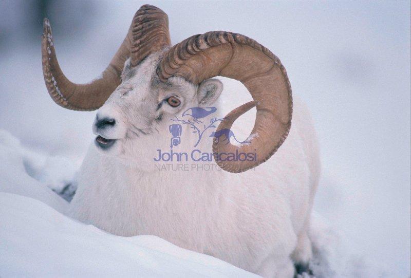 Dall Sheep (White Sheep) (Ovis dalli) - Yukon Canada - Ram