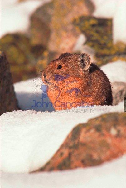 Pika (Ochotona princeps) - Colorado