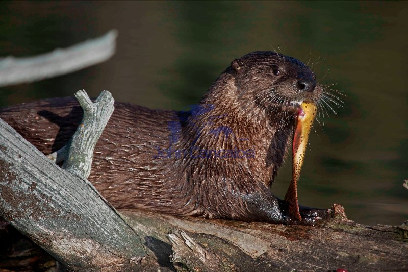 River Otter(s) - (Lutra canadensis) - Wyoming - Eating cutthroat