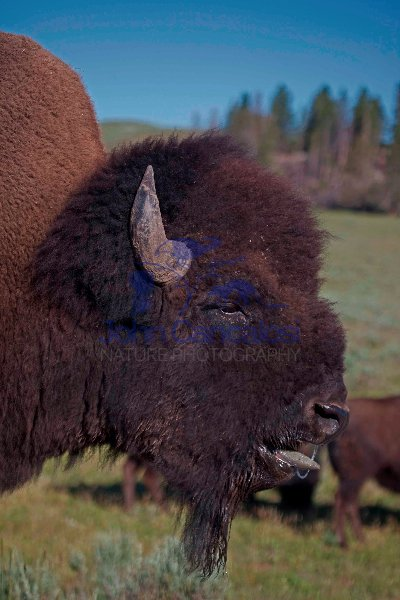 American Bison - (Bison bison) - Wyoming - Male in rut