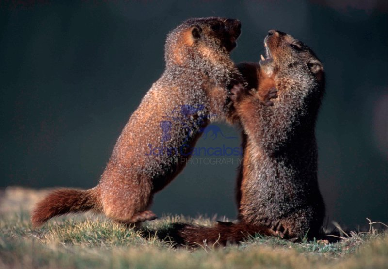 Yellow-bellied Marmots Fighting (Marmota flaviventris) - Colorad