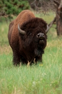 bison-1135plab