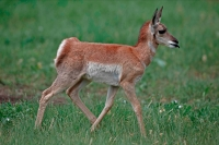 Pronghorn (Antelope) - Young -  Antilocapra americana - South Da