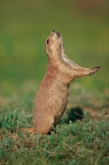 Blacktail Prairie Dog (Cynomys ludovicianus) - Wyoming - USA